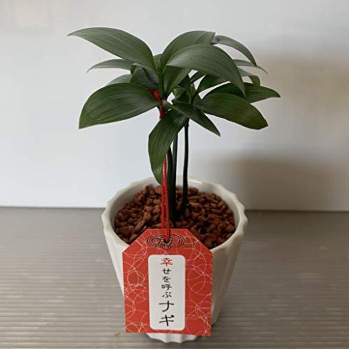 【SHOPマルハナ】幸せを呼ぶナギ 梛 1鉢 セラミス植 (白)