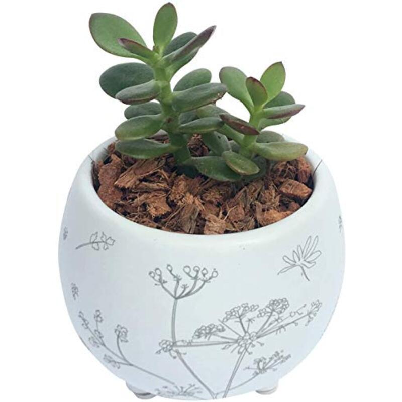 花のギフト社 金のなる木 花月 多肉植物 鉢植え