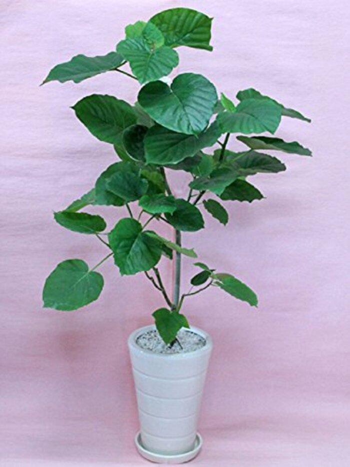観葉植物 ウンベラータ Lサイズ 【白陶器鉢】