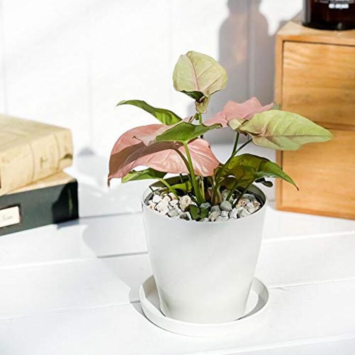 観葉植物 シンゴニウム ネオン 3.5号鉢 受け皿付き 育て方説明書付き