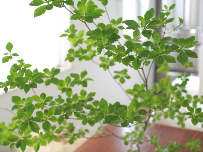 傷んだ葉を取り除きましょう。導管を潰さないように、よく切れるハサミでスパっと切りましょう。見栄えもよくなり、栄養も元気な葉に行き渡るようになります。