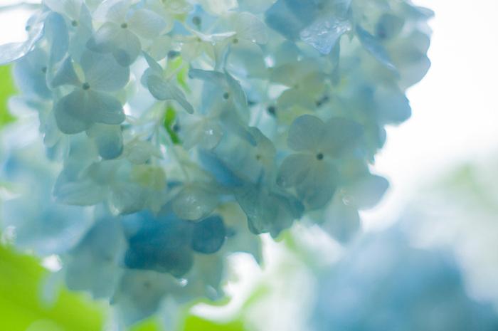 雨の日も爽やかに、涼しげに♪かわいらしい「あじさい」のインテリア
