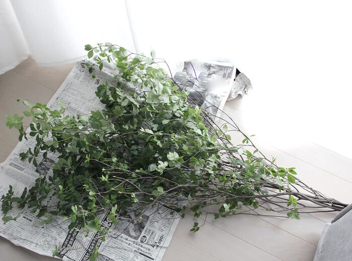 買ってきた「ドウダンツツジ」を広いところで広げ、葉の状態を確認。痛みが多い葉や、飛び出ている小枝などをカットして取り除きます。