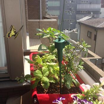 ベランダのちょっとした空きスペースに。高さがあるので日当たり抜群の環境で育てることができますよ。