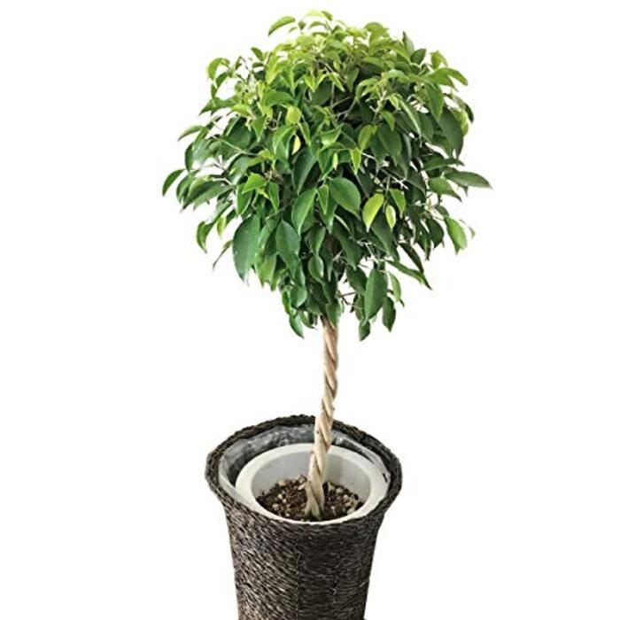 フラワーキッチン 観葉植物 ベンジャミン Lサイズ 7号鉢