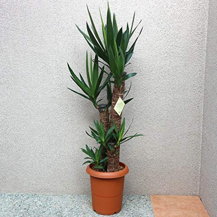 ユッカ (青年の木) 観葉植物 大型 8号プラスチック鉢