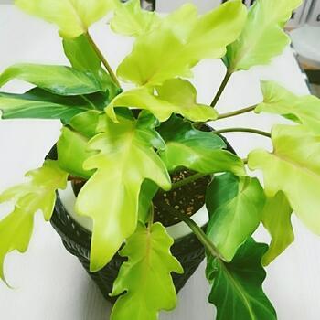 フィロデンドロンは、比較的丈夫なことから初心者でも育てやすい植物です。フィロデンドロンにはたくさんの種類があり、その中のクッカバラには「壮大な美」という花言葉があります。耐陰性がありますが、柔らかい光が当たる場所に置くと良いでしょう。風水では、円満な夫婦関係を促すともいわれています。