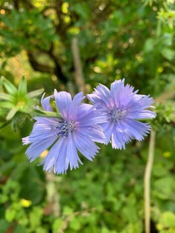 この愛らしいブルーの花が「チコリ」の花です。  「チコリ」は、葉も根も花も食べられることが知られており、葉はサラダなどで生で、根は炒ってコーヒーのように、花はエディブルフラワーとしてサラダやケーキを飾るといった使い方ができます。