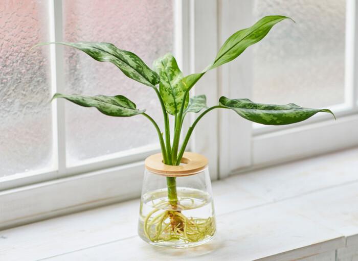 「アグラオネマ・マリア」は、熱帯植物。  迷彩柄の美しい葉、スッキリとした茎の先につく優しく波打った葉の形状がお部屋のアクセントになってくれるはず。個性的でありながら主張が強すぎないので、飽きが来ない観葉植物と言えそうです。  さらに嬉しいのが、明るい室内~薄暗い室内のいずれの環境でも生育可能という点。これまでグリーンをプラスするのをあきらめていた場所の救世主になってくれるかもしれません*