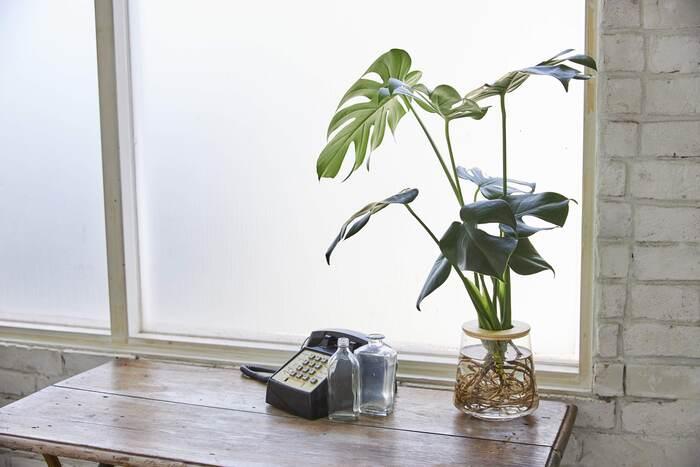 南国を思わせる特徴的な葉に見覚えもある方が多いであろう、つる性の植物「モンステラ」。  1種類で存在感を発揮してくれる観葉植物なので、「何種類もグリーンを置くのは難しい」「選りすぐりの1種類を迎えたい」という場合には、ぜひ。インテリアにしっかりとしたアクセントを加えてくれることでしょう。