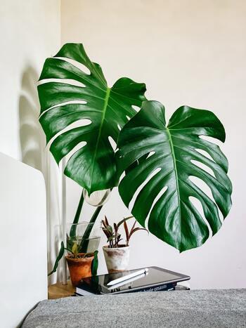 リゾートインテリアに観葉植物は欠かせない存在。1番のおすすめは南国の雰囲気たっぷりのモンステラ。比較的育てやすいので、観葉植物初心者にも人気の品種です*成長して葉っぱが増えてきたら、水差しして飾るのも良いですね◎
