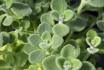 多肉植物とハーブの特性を持っているアロマティカスはぷっくりと肉厚で、ミントのようなスーッと爽やかな香りがある植物。ドライにせず、育てながら虫を寄せ付けにくい空間作りができます。