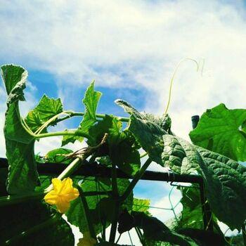 7月からでも大丈夫!【野菜・花・実もの】グリーンカーテンで楽しむ夏の涼