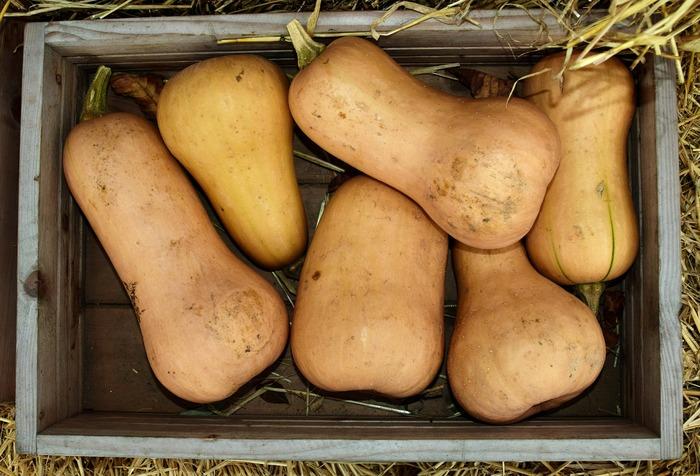 生産者の工夫もあって、年中スーパーで手に入りますが、一般的に9~11月が収穫時期。そして、収穫直後よりも1~2カ月寝かせて、追熟させた方が甘味が増すといわれています。