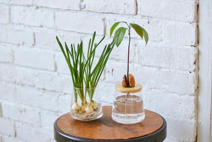 WOOTANGの器は観葉植物だけでなく、花の球根や植物の種などの水耕栽培にも使えます。  Sサイズの器を使えば、アボカドの種がフタの穴にぴったりはまるのでオススメです!ます。方法は公式ホームページで詳しく紹介しているので、ぜひ参考にしてみてくださいね。