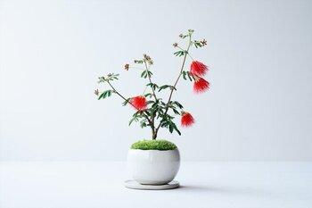幻想的な形がめずらしい、「緋ネム(ヒネム)」の鉢植え。美しい緋色は、見るたびに心に安らぎを与えてくれます。ネムの木の花言葉は、「歓喜」「胸のときめき」。いつまでも喜びあふれる毎日を贈れますように……。そんな思いとともに贈りたいですね。  #赤 #ネムの木