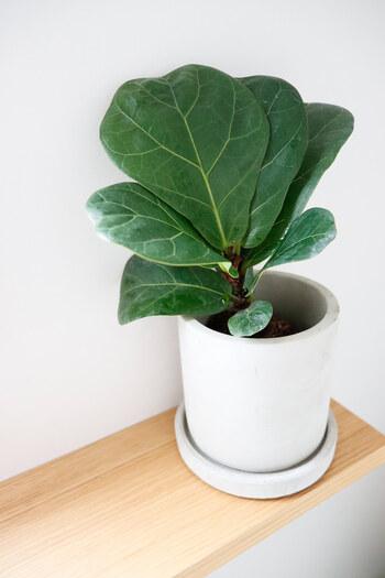 3COINSでは観葉植物も販売しています。そのままでも飾れますが、セメント鉢に入れ替えるのがおすすめです。クールな質感で、お部屋をスタイリッシュに演出してくれますよ。