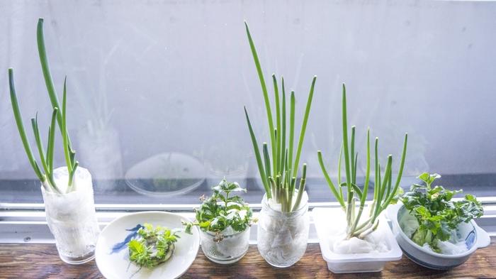 水耕栽培の中でも特に簡単な方法が、スーパーなどで買った野菜の根を再生栽培させるやり方。「リボベジ」とも言われ、節約主婦にも人気の方法で、水耕栽培入門には最適です。使い終わった野菜もまだまだ生きるチカラを見せてくれますよ。